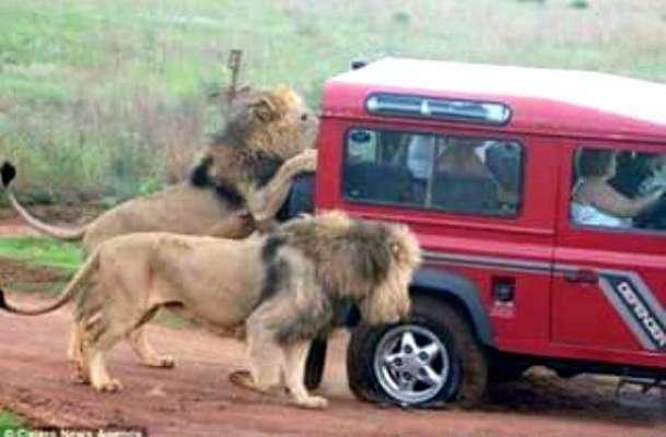 بھوک کے ہاتھوںمجبور سفاری میں موجود شیر جیپ کا ٹائر کھا گئے