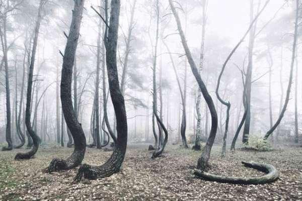 پولینڈ کا پراسرار جنگل، سائنسدان بھی معلوم نہ کر سکے کہ ایسا کیوں ہے