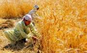 آئند ہ پا نچ سے چھ روز کے دوران گندم کی کٹائی کے بیشتر علاقوں میں موسم ..