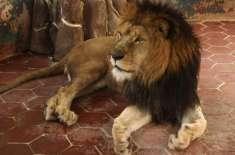 دبئی میں پالتو شیر قید سے بھاگ نکلا، شہر میں شدید خوف و حراس