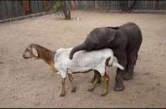 بھیڑ نے ہاتھی کے بچے کو گود لے لیا