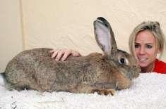 دنیا کا سب سے بڑا خرگوش، جس کا سائز 7 سال کے بچے جتنا ہے