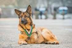 افغانستان میں ٹانگ گنوانے والے کتے کے لیے اعلیٰ ترین اعزاز