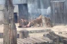 نوجوان نے اپنے کپڑے اتارے اور خودکشی کرنے کے لیے شیروں کے پنجرے میں ..