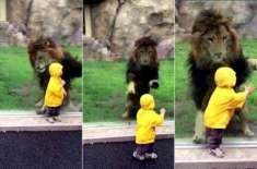 شیر نے دو سالہ بچے پر حملہ کیا اور سب کی دھڑکنیں رک گئی  مگر پھر وہ ہوا ..