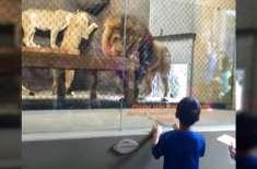 چڑیا گھر کے شیر کو شو دکھانا مہنگا پڑ گیا۔ دم ہی کٹوا لی