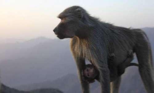 عسیر: سعودی شہری بندروں کی وجہ ..