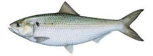 مچھلی کی فروخت میں اضافہ ، انواع ..