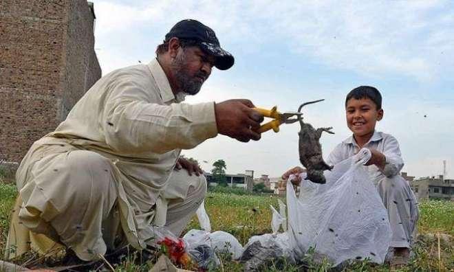 پشاور میں چوہوں کے سرکی قیمت مقرر