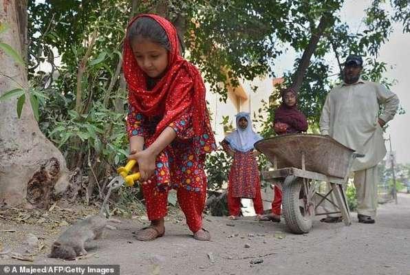 پشاور چوہا مار مہم ، انعام دینے کا فیصلہ معطل کر دیا گیا