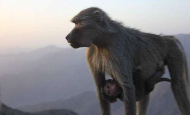 عسیر: سعودی شہری بندروں کی وجہ سے مشکل میں پھنس گیا