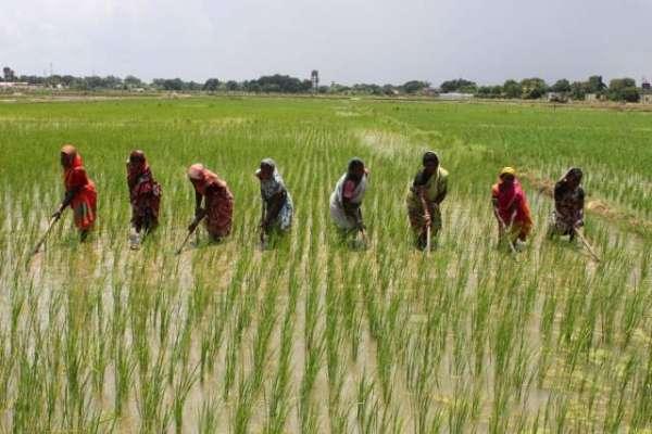 کماد، چاول، مکئی اور کپاس کے مُڈھوں کی بروقت تلفی بہت ضروری ہے، محکمہ ..