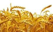 معیاری گندم کی خرید یقینی بنانے کیلئے اقدامات بروئے کار لائے جارہے ..