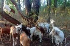 یونیورسٹی نے گھاس کی صفائی کے لیے بکریوں  کی خدمات لے لیں اور لیبر یونین ..