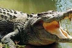 چین سے 66 ملین سال قدیم مگرمچھ کی مکمل باقیات دریافت