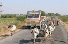اب بھارتی گائیوں کا شناختی کارڈ بنے گا