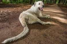 سب سے لمبی دُم کا ورلڈ ریکارڈ بیلجیئم کے کتے کے نام