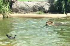 دنیا کی بہادر ترین بطخ جو شیر کے تالاب میں تیرتی رہی مگر شیر کے ہاتھ ..