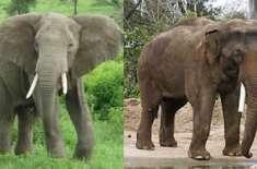 افریقی ،  ایشیائی ہاتھی میں فرق اور ہاتھیوں کے بارے میں چند دلچسپ معلومات