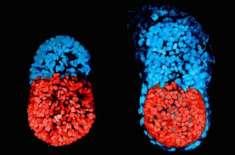 سائنسدانوں نے بغیر انڈے اور سپرم کے مصنوعی جنین(ایمبریو)تیار کر لیا