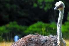 25000 سال پہلے ہندوستان میں بھی شتر مرغ پائے جاتے تھے