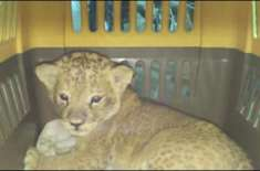سرحدی محافظوں نے 2245 طوطوں کے ساتھ ایک شیر کو سمگل کرنے کی کوشش ناکام ..