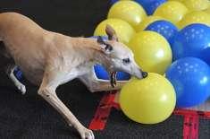 جانوروں کے قومی دن کے موقع پر ٹوبی نامی کتے نے کم وقت میں 100 غبارے پھاڑنے ..