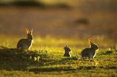 آسٹریلیا  میں چھوڑے گئے 24 خرگوش پورے براعظم کےلیے  سب سے بڑا خطرہ بن ..