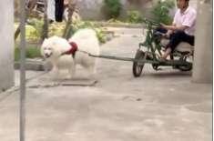 مستعد کتے نے مالک کے رکشے کو کھینچ کر سب کو حیران کر دیا