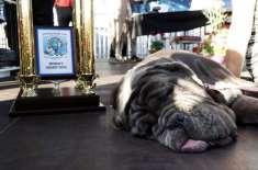 نیپلی ماسٹف کتے کو دنیا کے بدصورت ترین کتے کا اعزاز مل گیا