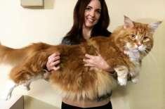 4 فٹ لمبی بلی ، دنیا کی سب سے لمبی بلی  کا ریکارڈ بنا سکتی ہے
