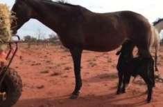 بے اولاد گھوڑی نے گائے کے لاوارث  بچھڑے کو گود لے لیا