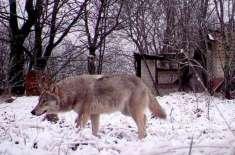 ڈنمارک میں 200 سال بعد بھیڑیوں کی واپسی
