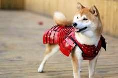 جاپانی کمپنی نے کتوں اور بلیوں کے لیے سامورائی زرہیں بنانا شروع کر ..