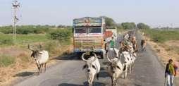 اب بھارتی گائیوں کا شناختی کارڈ بنے ..