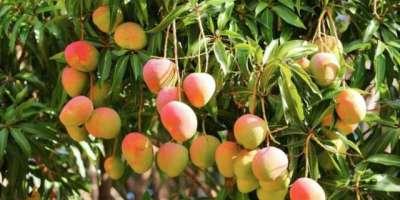 پاکستان میں آم کی اوسط پیداوار 9.86ٹن فی ہیکٹر ،ثمر بہشت چونسہ کے اعلیٰ ..