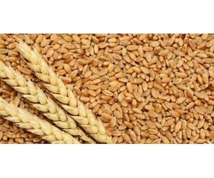 روس کی برآمدی گندم کے نرخوں میں اضافہ