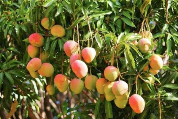 حالیہ بارشوں ، اندھی اور ژالہ باری سے آم کی پیداوار میں 20تا25فیصد کی ..