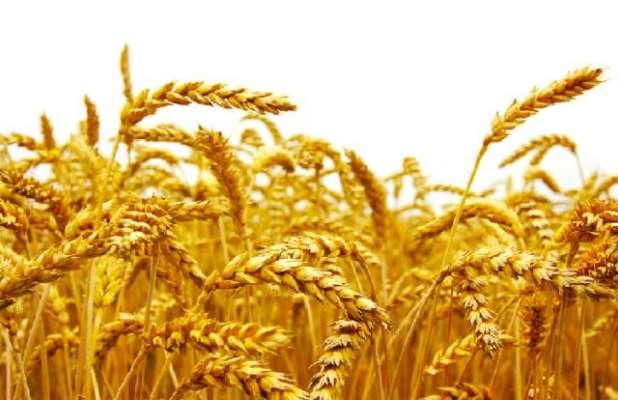 امریکا میں مکئی کے نرخوں میں کمی،گندم و سویا بین میں اضافہ