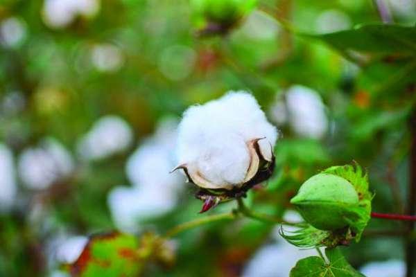 راجن پور کی تحصیل جام پور میں کپاس کی فصل پر سفید مکھی کا خوفناک حملہ، ..