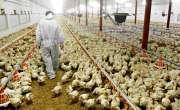 برائلر مرغی کے گوشت اور فارمی انڈوںکے نرخ