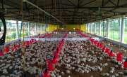 برائلر گوشت کی قیمت11روپے اضافے سے339روپے فی کلو تک پہنچ گئی