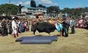 بھارتی گاؤں میں ہائی جمپ کے لیے بیلوں کا استعمال