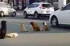 آوارہ کتوں نے ایک مصروف شاہراہ  پر اپنے ساتھی کے گاڑی کی ٹکر سے مرنے ..