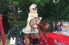 ریمبو نامی کتا اپنے مالک کی مدد کرتے ہوئے کھیتوں میں ہل چلا سکتاہے اور ..