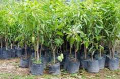 باغبانوں کو آم کے نئے پودے لگانے کا عمل30ستمبرتک مکمل کرنے کی ہدایت