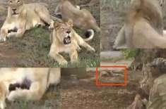 جنگل میں چوہدراہٹ کی لڑائی بھارتی ریاست گجرات میں 11شیر اور شیرنیاں ..