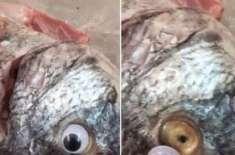 کویت ،مچھلیوں کو جعلی گھومتی آنکھیں لگانے والے مچھلی فروش کا کاروبار ..