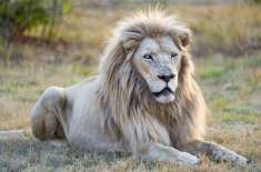 Mufasa, A Rare White Lion In South Africa, Is In Danger Of Being Auctioned Off To Trophy Hunters