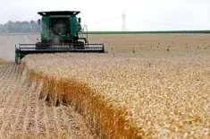 گندم کی فصل کو تین سے چار مرتبہ پانی دینے سے بھر پور پیداوار حاصل کی ..